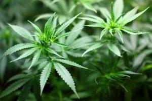 Marihuana lecznicza - jak zdobyć